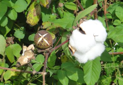Cotton exports begin, price up by Rs 100 per maund