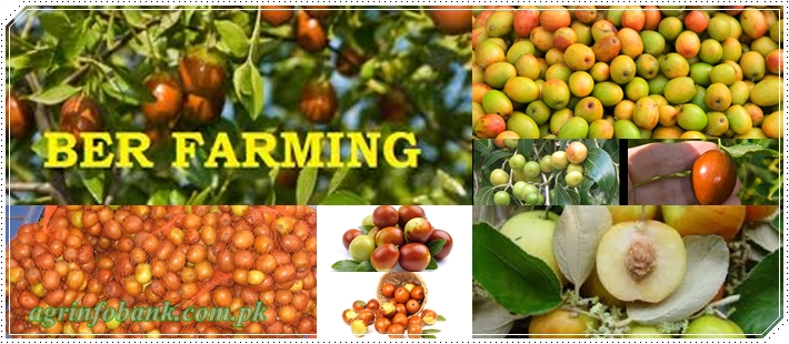 Salient Features of jujube (Ber) Cultivation