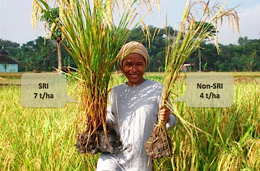 Aringay woman improves rice yield by 40%