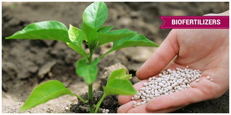 Role of Biofertilizers in soil fertility and Agriculture