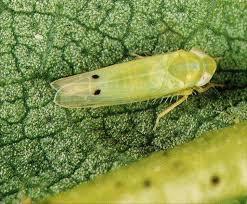 Bio-intensive integrated management of jassid, amrasca biguttula biguttula (ishida) on bt-cotton in punjab, pakistan