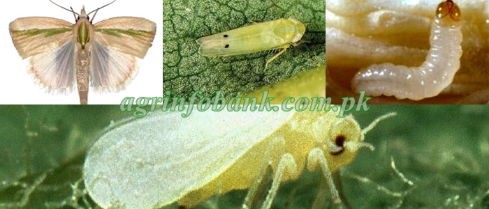 Toxicity of chlorpyrifos, spinosad and abamectin on cotton bollworm, Helicoverpa armigera and their sublethal effects on fecundity and longevity