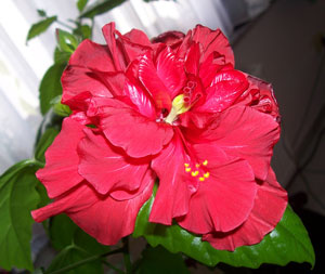 Hibiscus – the China rose
