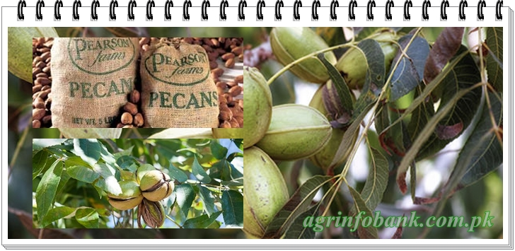 Salient Features of Pecan Cultivation