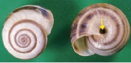 Common white or vineyard snail