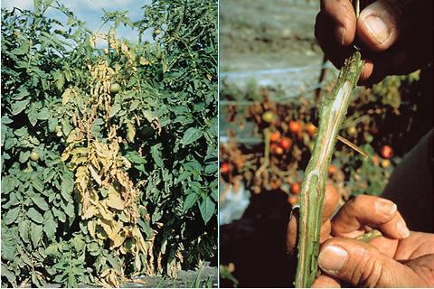Tomato Pests & Disease in Pakistan – agrinfobank Online