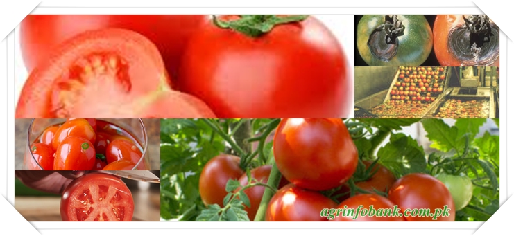 Pre- and Postharvest Factors Affecting Quality and Yield in Tomato