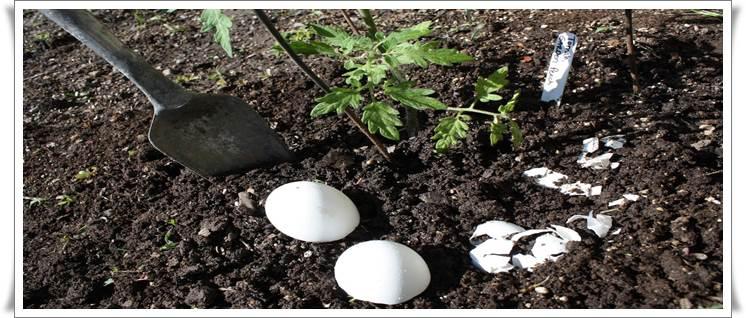 Egg shells as Natural Fertilizer