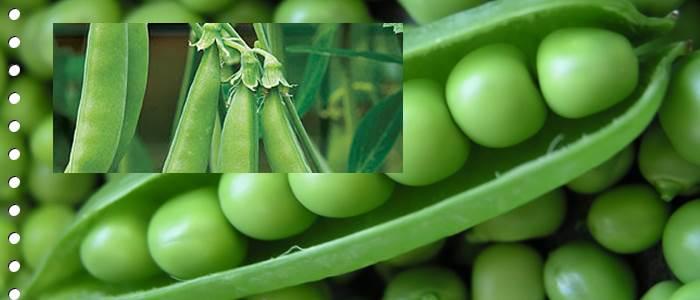 Hidden Health Benefits of Peas