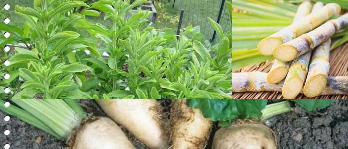 Sugar sources in crop plant (Sugar cane , Sugar beet , Stevia)