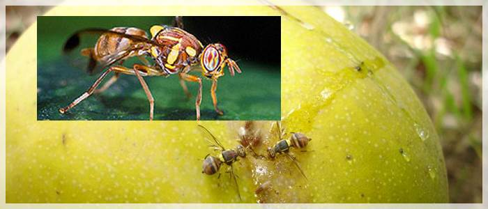 Summer mango fruit fly incursions lead to tougher SA import restrictions
