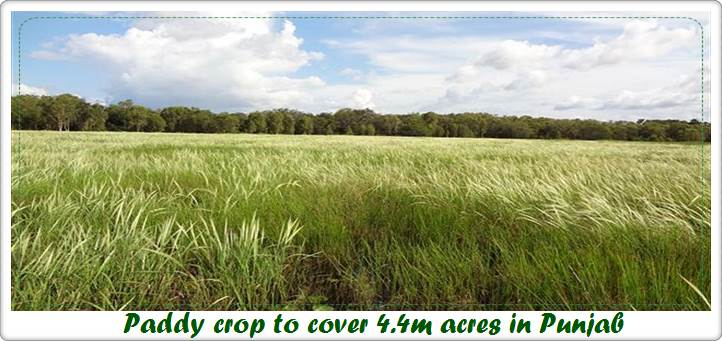 Paddy crop to cover 4.4m acres in Punjab