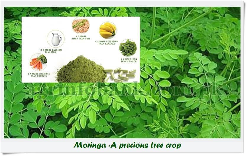 All about Moringa oleifera (Sohanjna)