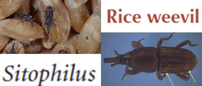Rice weevil