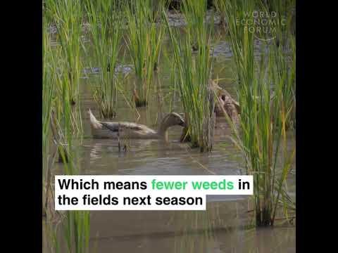 Farmers across Japan are using ducks instead of pesticides