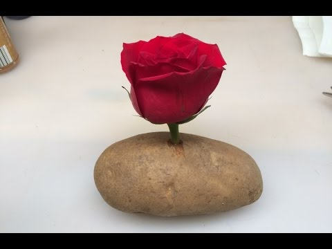 Put A Rose Cutting In A Potato And Watch It GROW