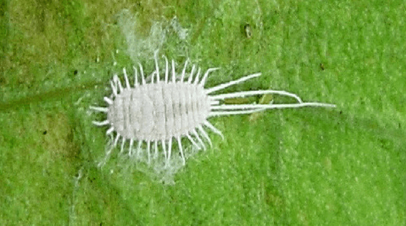 Rice Mealy Bug