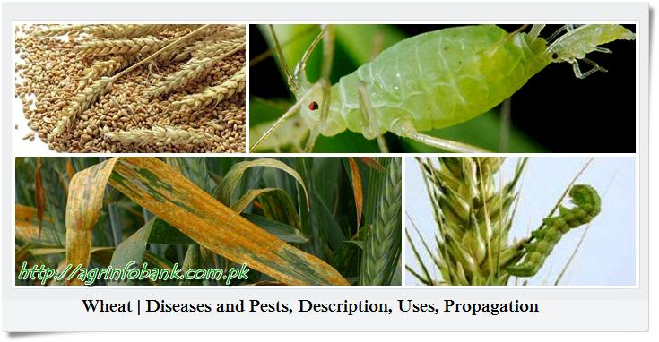 Wheat | Diseases and Pests, Description, Uses, Propagation