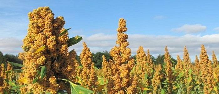 Quinoa (Chenopodium quinoa): An Emerging Nutritious Crop in Pakistan