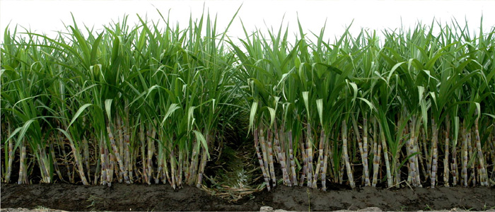 How to improve sugar recovery from cane
