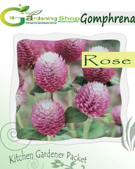 Gomphrena Dark Rose