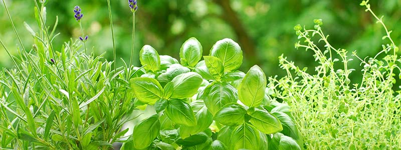 Basil: Variations on a Favorite Herb