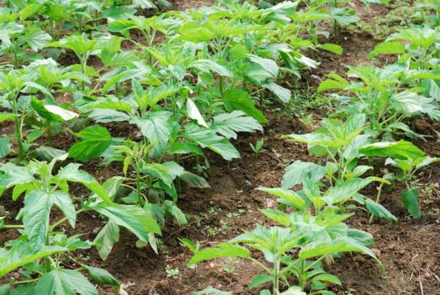 Sesame Cultivation Over 31,490 Acres Of Land In Faisalabad