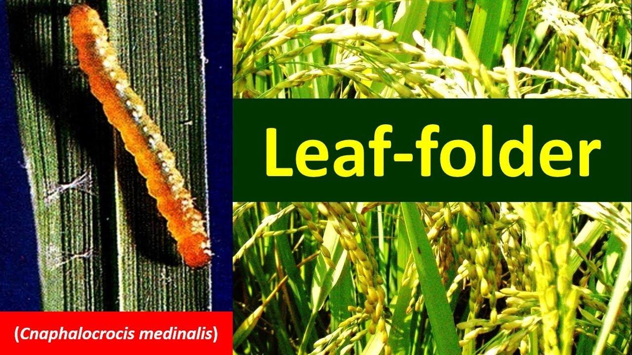 Rice Leaf folder